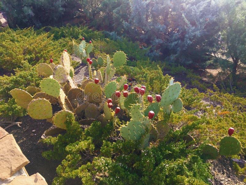 Kaktusfeigefrucht SABRE, Früchte von den Ficus-Indica Spezies der Opuntie des Kaktus, auch genannt als Kaktusfeigeopuntie stockbilder