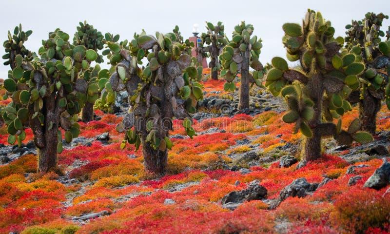 Kaktusfeigekaktus auf der Insel Die Galapagos-Inseln ecuador lizenzfreies stockfoto