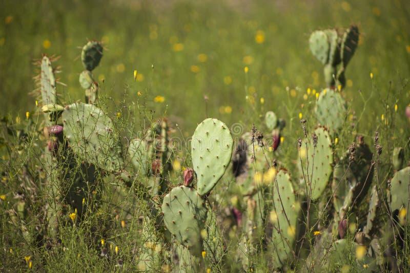 Kaktusfeigekaktus mit Frucht in der Sonne des frühen Morgens stockfotografie
