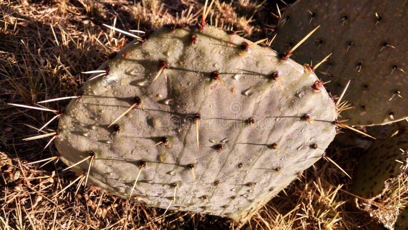 Kaktusfeigekaktus mit Wassertröpfchen lizenzfreie stockfotos