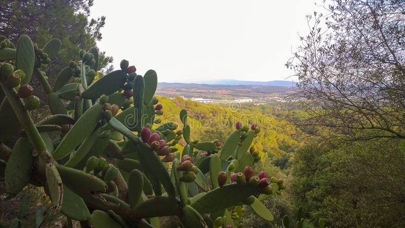 Kaktusfeigekaktuspflanze mit Landschaft stockbild