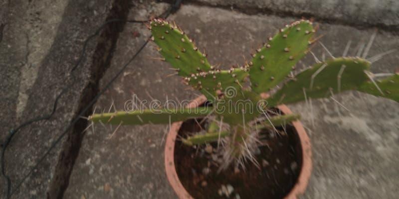Kaktusfred arkivbilder