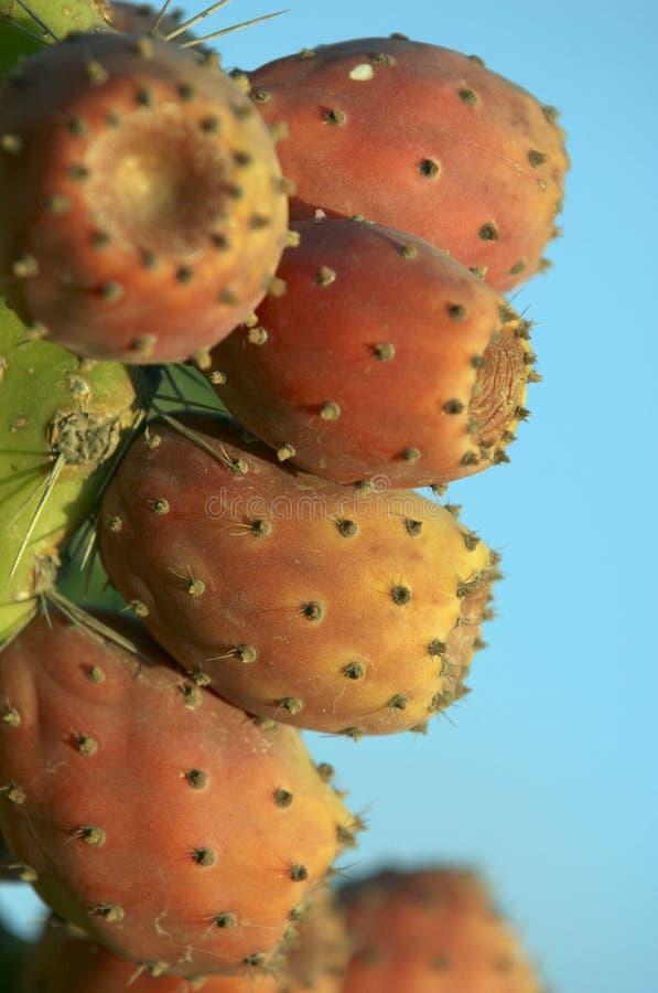 Kaktusfrucht lizenzfreie stockfotos