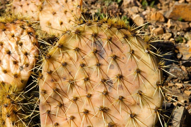 Kaktusfrukter royaltyfri foto