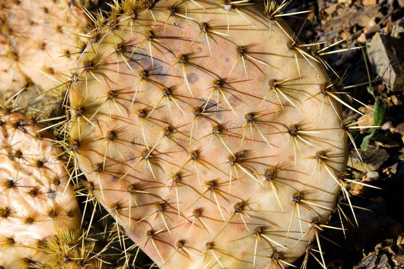 Kaktusfrukter royaltyfria bilder