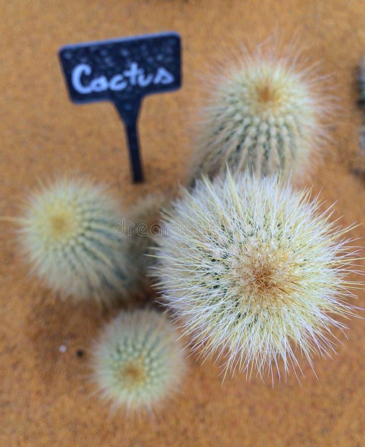 Kaktusgrupp arkivbild