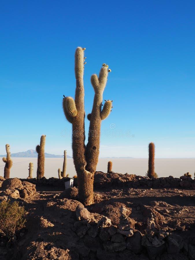 Kaktusinsel in Salar de Uyuni, Bolivien stockbild