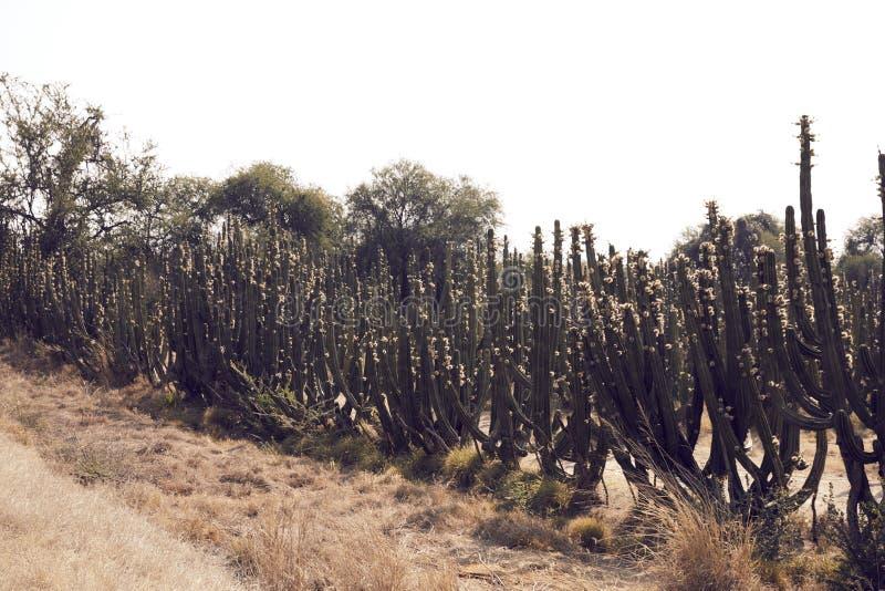 Kaktuslandschaft in der Wüste stockfotos