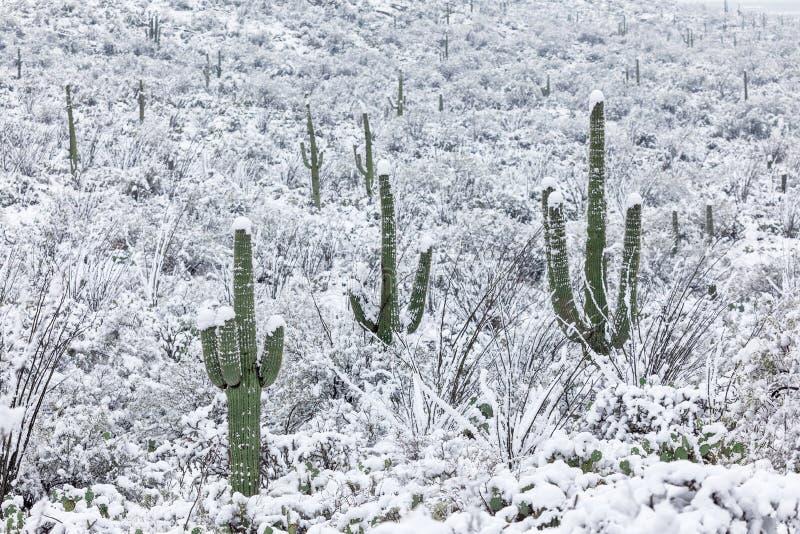 Kaktuslandschaft mit Schnee im Saguaro-Nationalpark lizenzfreie stockbilder