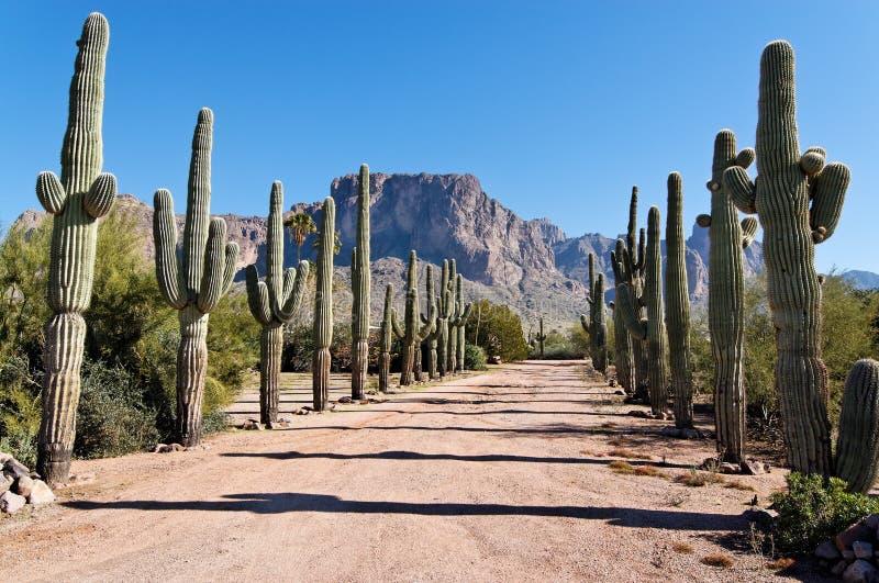 kaktuslane fotografering för bildbyråer