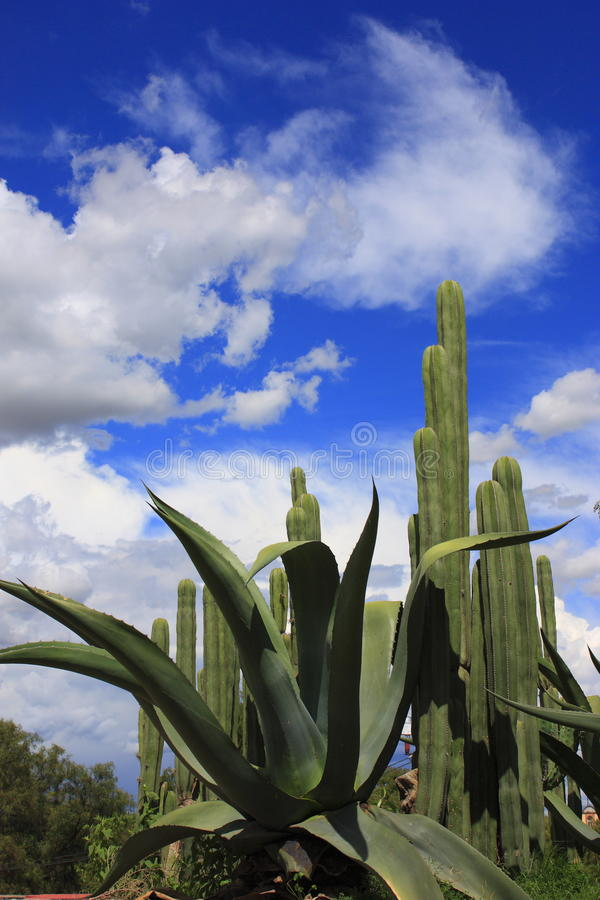 kaktusmaguey royaltyfri fotografi