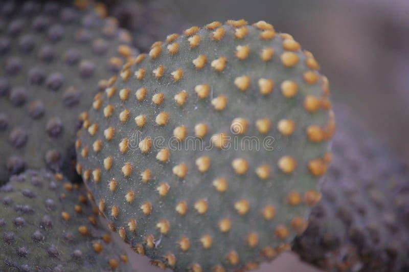 Kaktusnärbild fotografering för bildbyråer