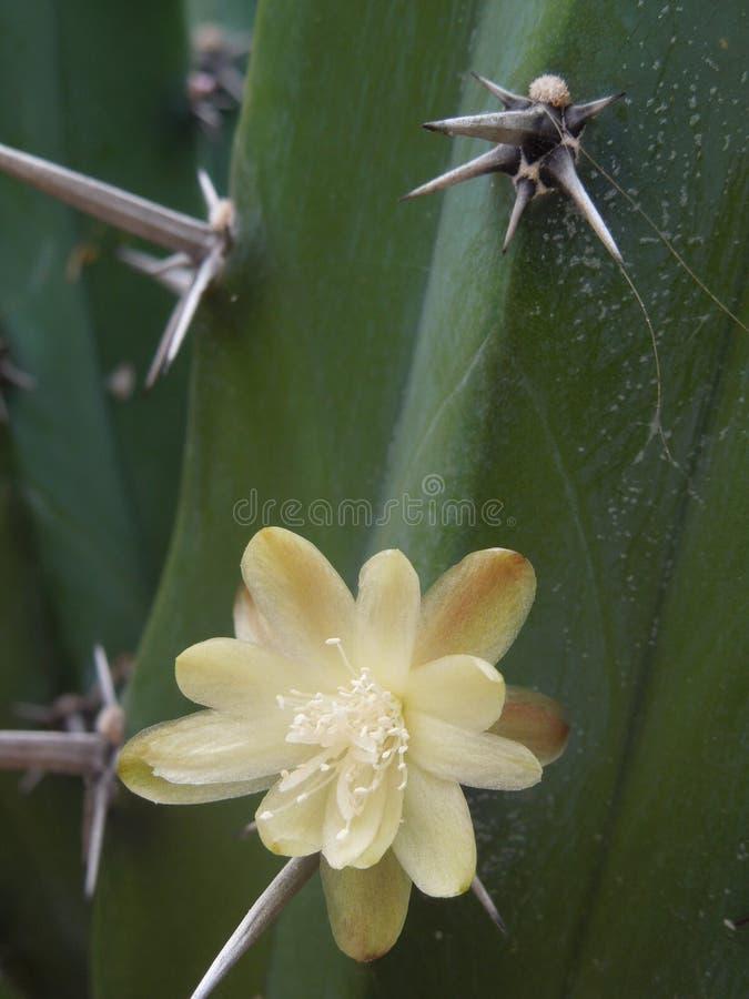 Kaktusorganilloen lurar den flor amarillaen royaltyfri fotografi