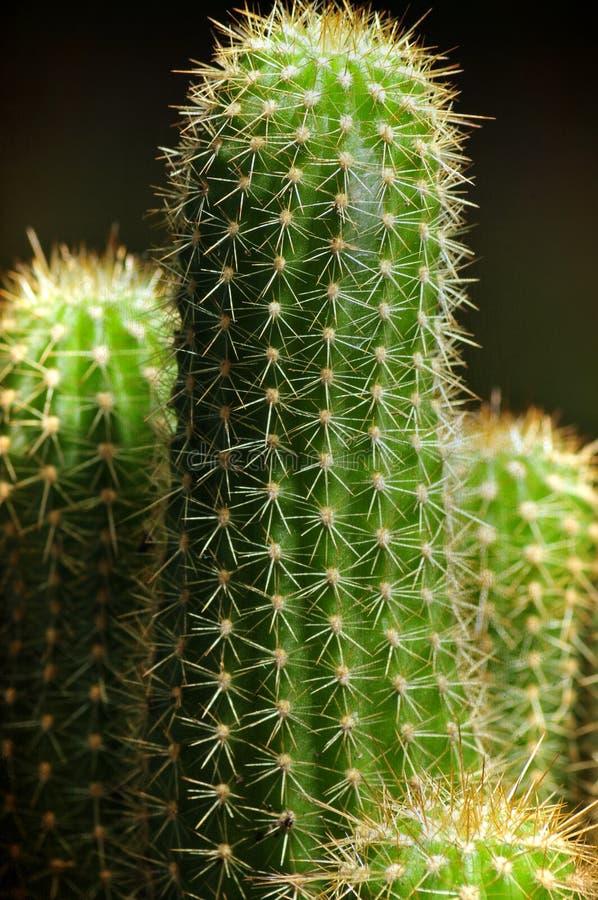 Kaktusowa chwała zdjęcie royalty free
