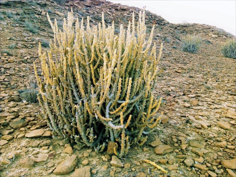 Kaktusowa Drzewna Pobliska centrum tama Baluchistan obraz stock