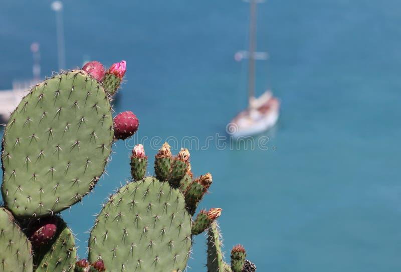 Kaktusowa francuska roślina Riviera