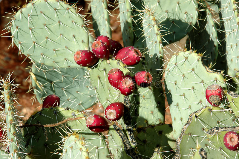 kaktusowa gruszka kłująca zdjęcie royalty free