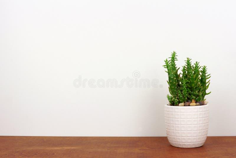 Kaktusowa roślina w białym garnku na drewnianej półce przeciw białej ścianie fotografia royalty free