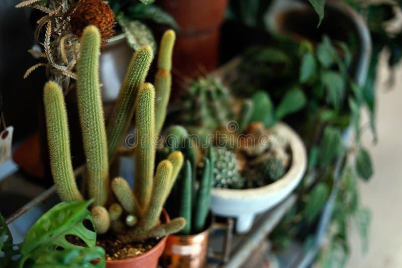 Kaktusowa tłustoszowata roślina dla dekoruje dom i ogród z copyspace ostrością tylko pierwszoplanową zdjęcie royalty free