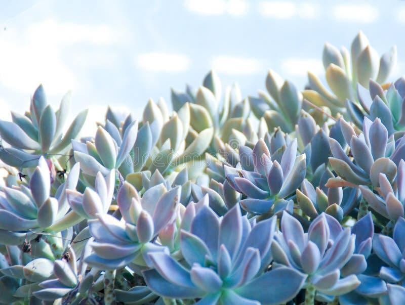 Kaktusowa tłustoszowata roślina w pustynnej ogrodowej szklarni zdjęcia stock