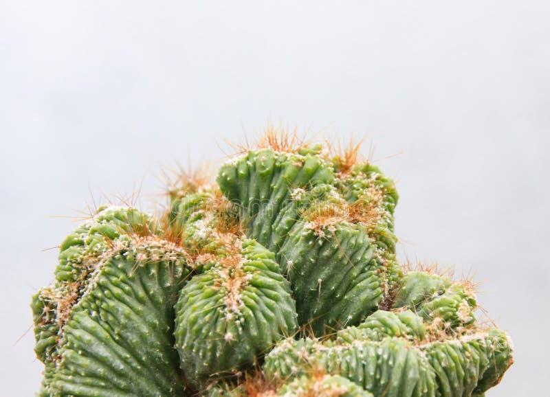 Kaktusowa tłustoszowata roślina w pustynnej ogrodowej szklarni obraz stock