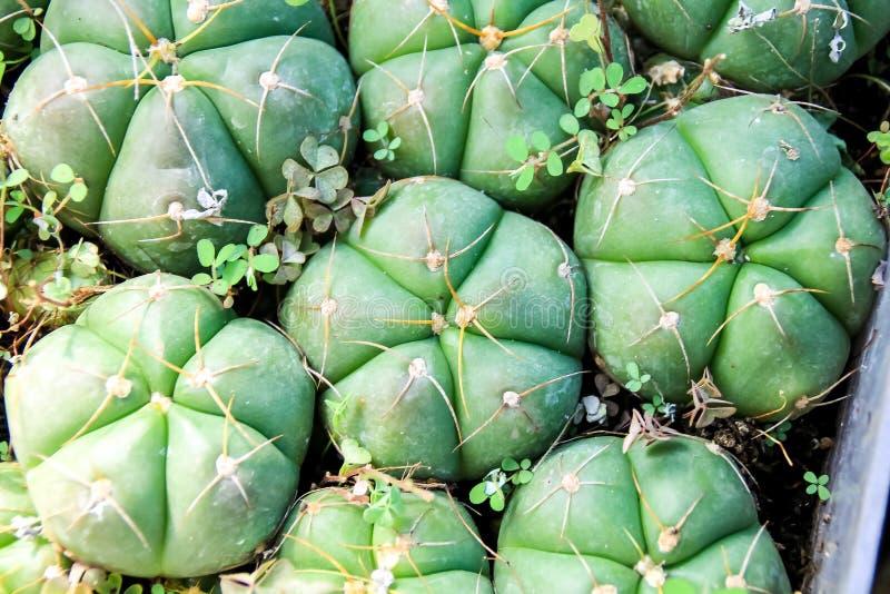 Kaktusowa tłustoszowata roślina w pustynnej ogrodowej szklarni obraz royalty free