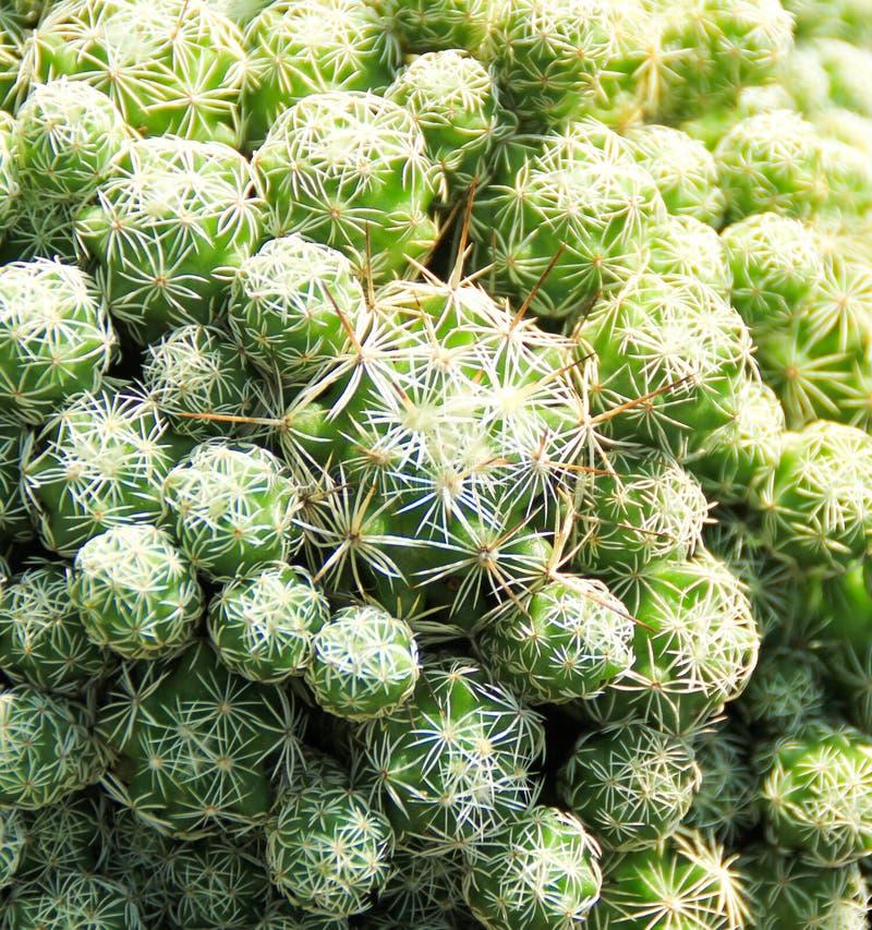 Kaktusowa tłustoszowata roślina w pustynnej ogrodowej szklarni zdjęcia royalty free