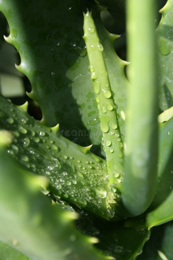 kaktusowa zroszona roślinnych zdjęcia stock
