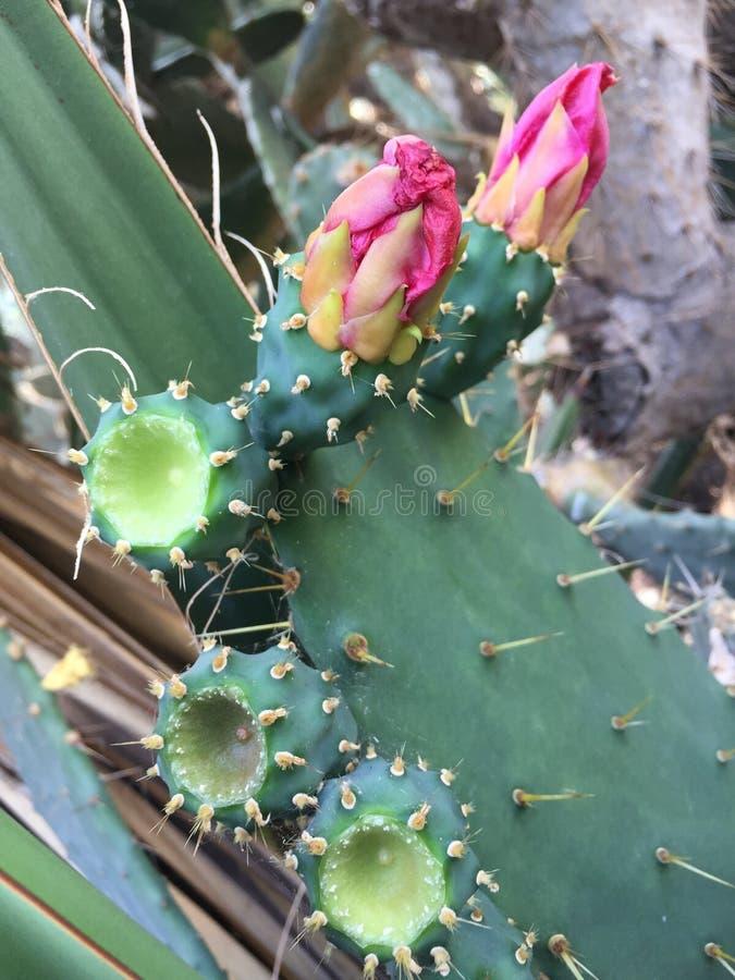 Kaktusowe kwiat zieleni menchie fotografia royalty free