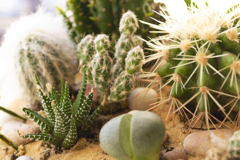Kaktusowe rośliny Zbliżenie strzał Ciepły jaskrawy tło fotografia stock