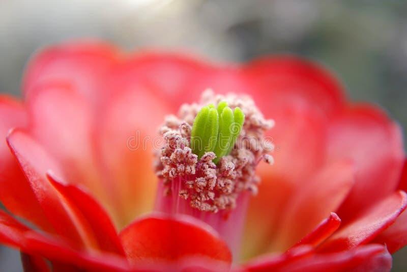 Kaktusowego kwiatu Czerwony okwitnięcie zdjęcia royalty free