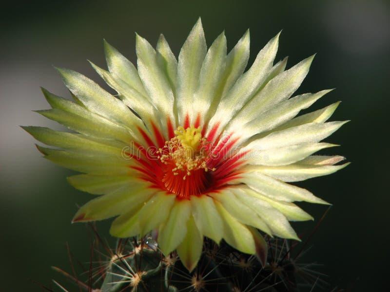 Kaktusowego kwiatu wspaniały zbliżenie kolorowy obrazy stock