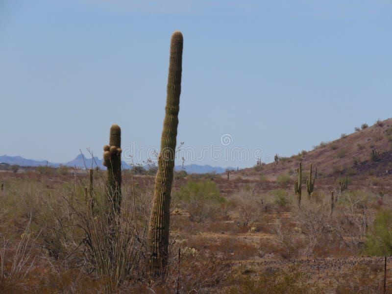 kaktusowego oplecionego saguaro uzbrojony obrazy stock