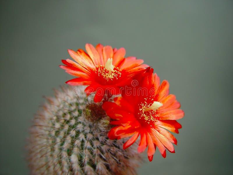 kaktusowego sanguiniflora zakwitnąć parodii zdjęcia stock