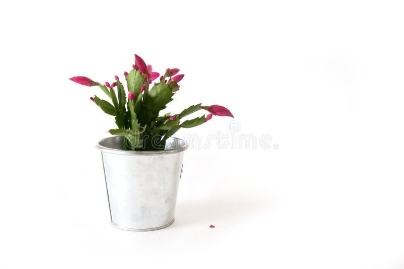 kaktusowi boże narodzenia obrazy stock