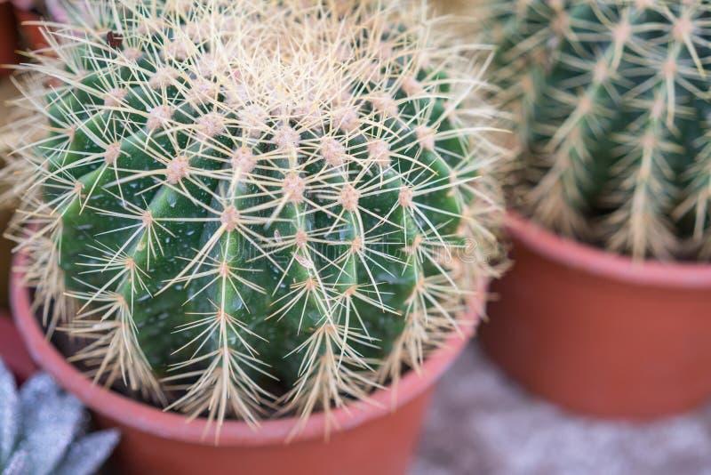 Kaktusowi sukulentów ciernie w górę Tapetowego houseplant zdjęcia royalty free