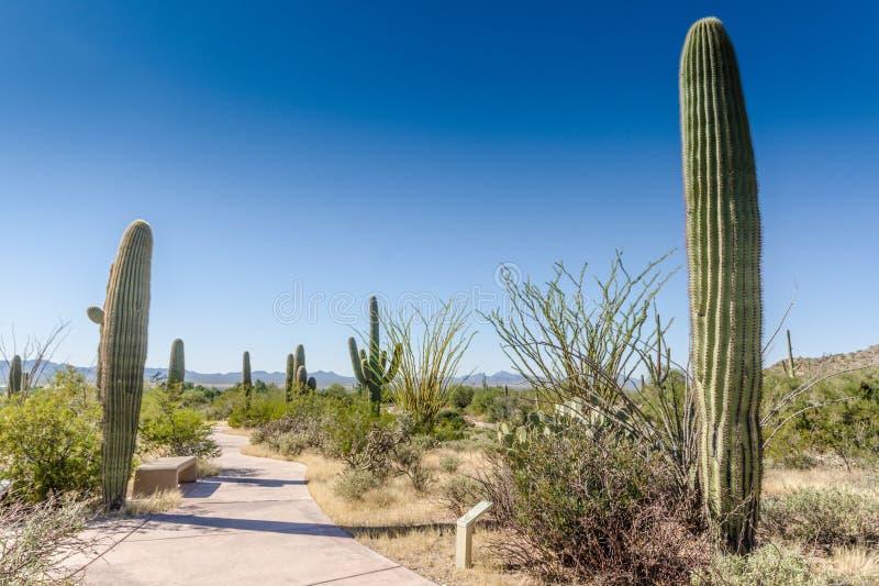 Kaktusowy ślad AZ - Saguaro park narodowy - obrazy royalty free