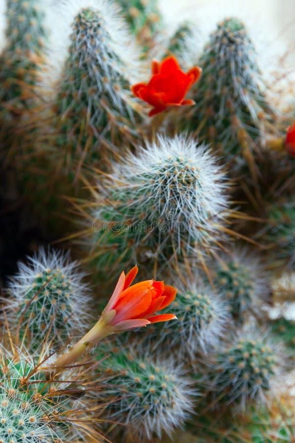 Kaktusowy Aylostera z czerwonymi kwiatami obraz royalty free