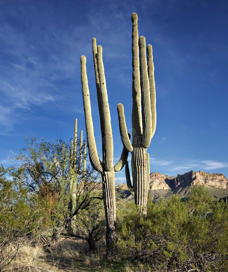 kaktusowy az saguaro Scottsdale usa zdjęcie stock