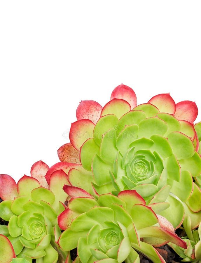 kaktusowy biel fotografia royalty free