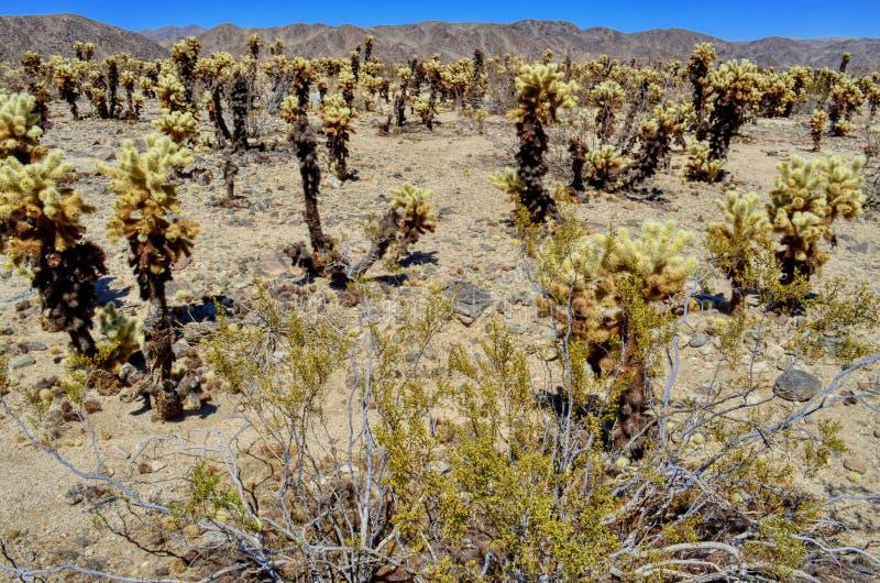 kaktusowy cholla ogródu Joshua park narodowy drzewo fotografia stock