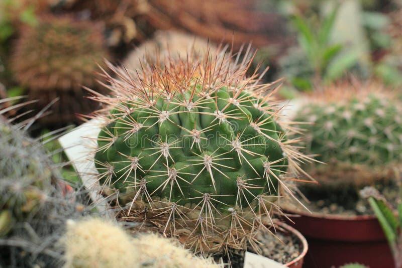Kaktusowy dorośnięcie w glasshouse zdjęcie royalty free