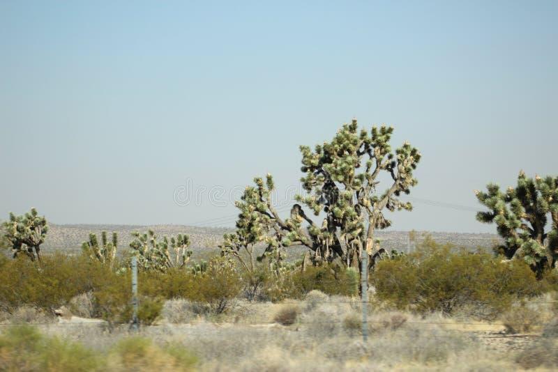 Kaktusowy drzewo fotografia royalty free