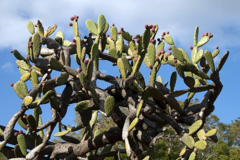 Kaktusowy drzewo z czerwoną owoc przeciw niebieskiemu niebu zdjęcia royalty free