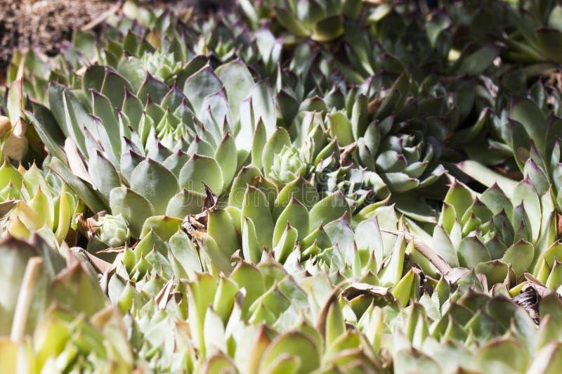 Kaktusowy echeveria obraz royalty free