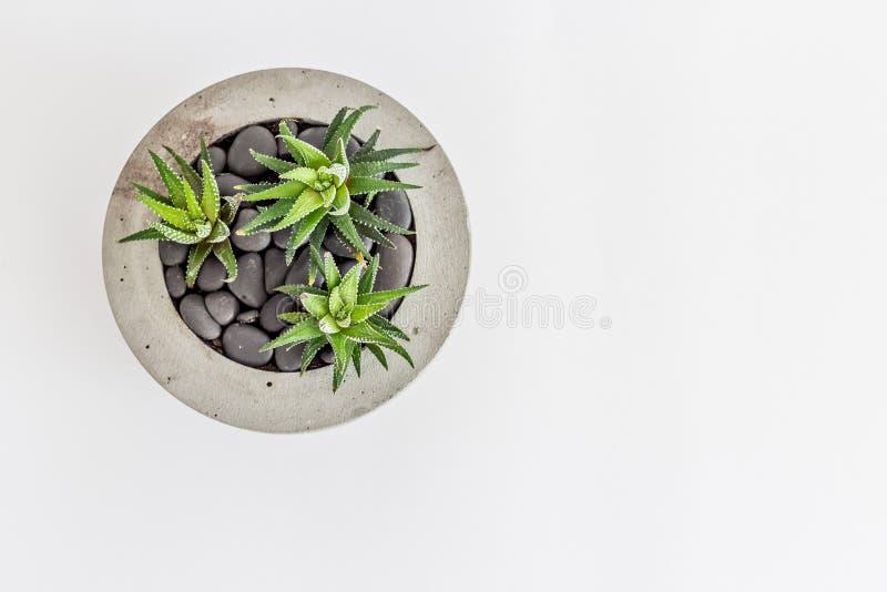 Kaktusowy havortia w betonowym garnku z glebowymi kamieniami obraz stock