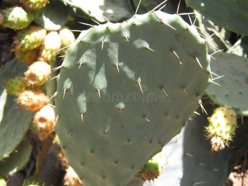 Kaktusowy Kłującej bonkrety zakończenie up zdjęcie royalty free