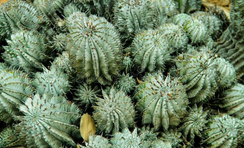 Kaktusowy kręgosłup zdjęcie royalty free