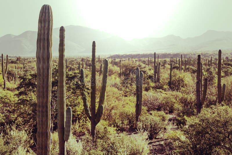 kaktusowy Mexico zdjęcie royalty free