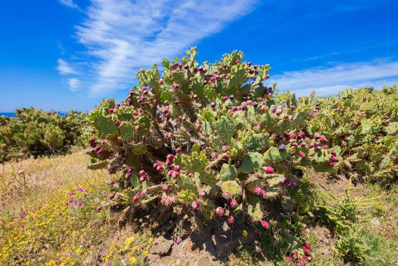 Kaktusowy opuntia indica z figi niebieskim niebem i owoc zdjęcie stock